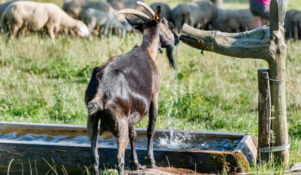 Goat drinking water