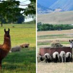 Guard Llama or Guard Donkey: Making the Right Decision for Your Farm