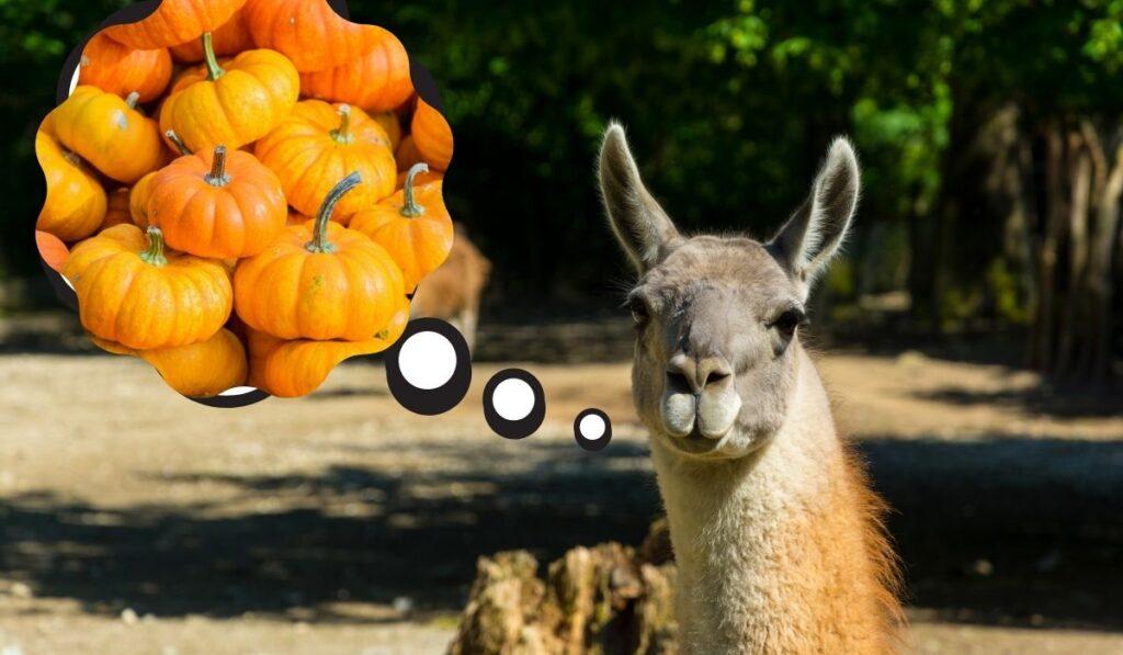 Llamas and pumpkins