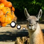 Can Llamas Eat Pumpkins?