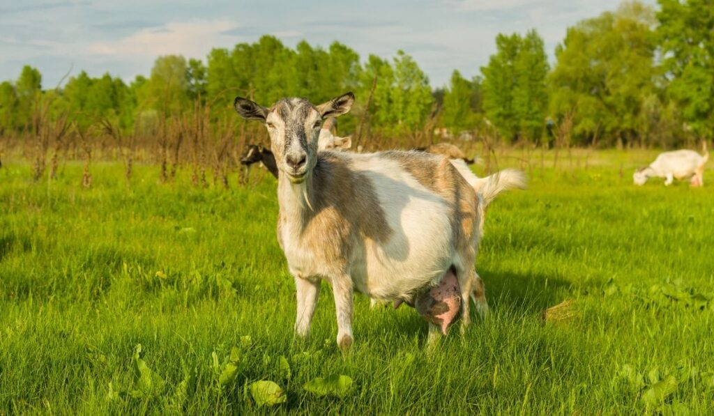 Milk Goat In The Farm