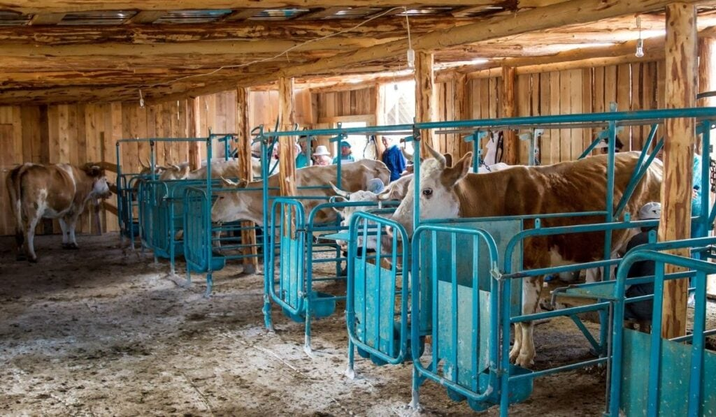 Milk Production in Cows