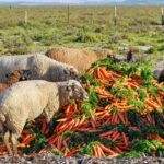 Can Sheep Eat Carrots?