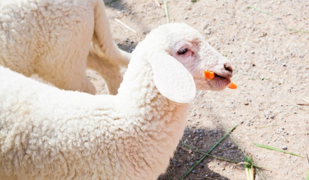 Sheep eating carrot in the field