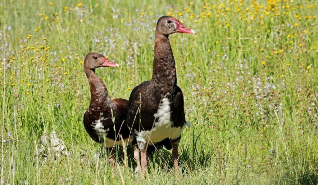 Spur-Winged Geese