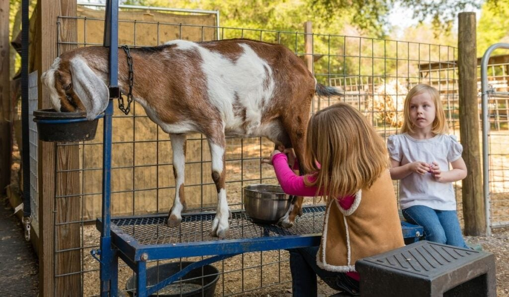 Young Girl Milking Goat