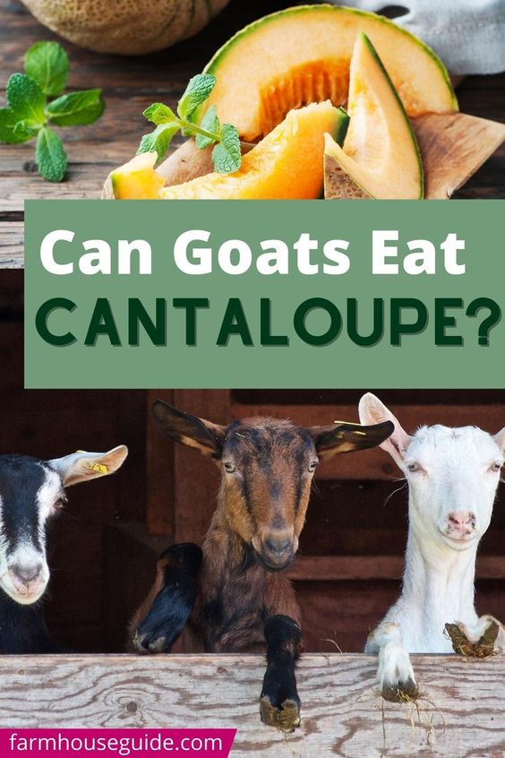pinterest image for can goats eat cantaloupe