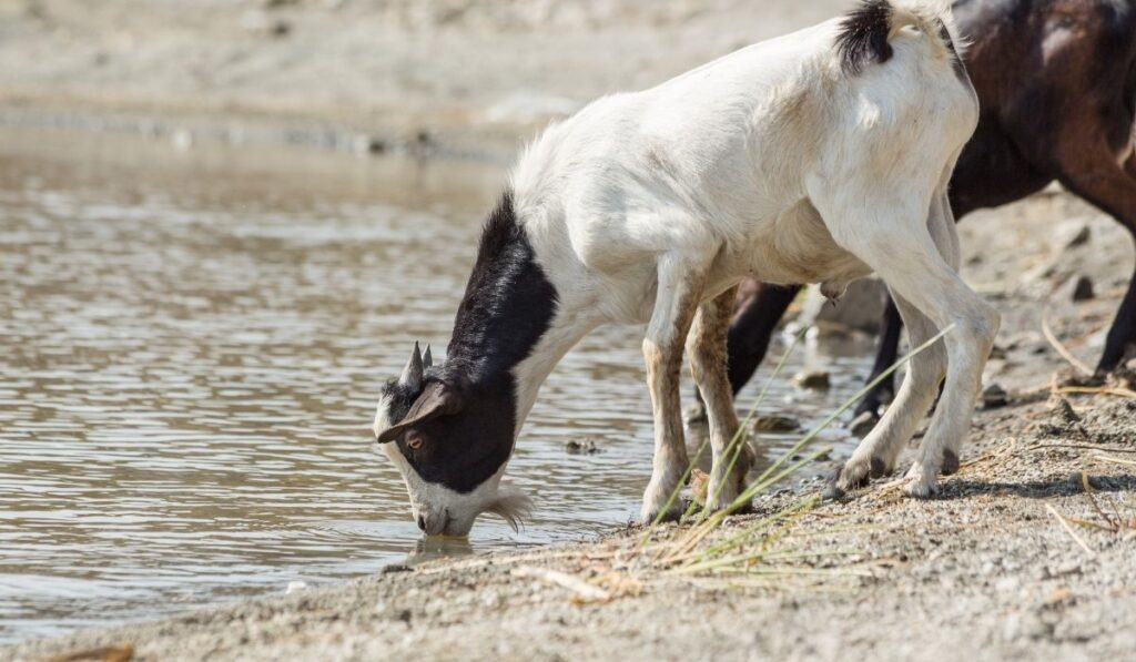 goat drinking water pond