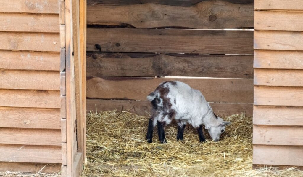 Baby goat standing on straw bedding