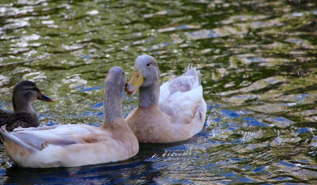 Bourbourg Duck
