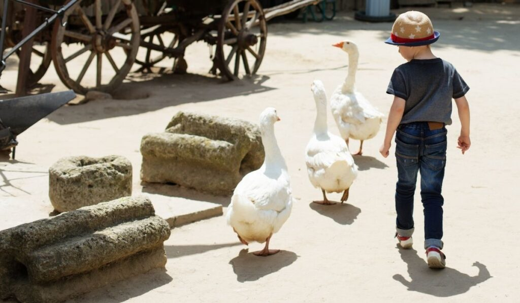 Child playing with three geese