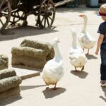 9 Reasons Geese Make Good Pets and 9 Reasons They Do Not