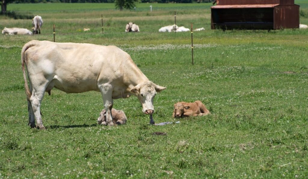 Cow eating afterbirth