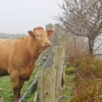 Can a Cow Actually Jump a Fence?