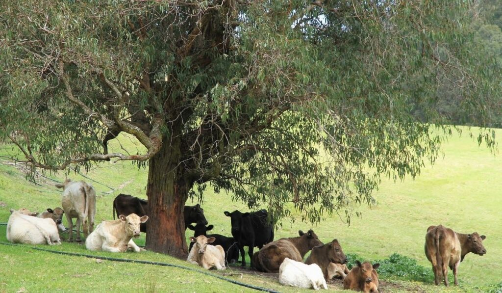 Cow sheltering under a tree