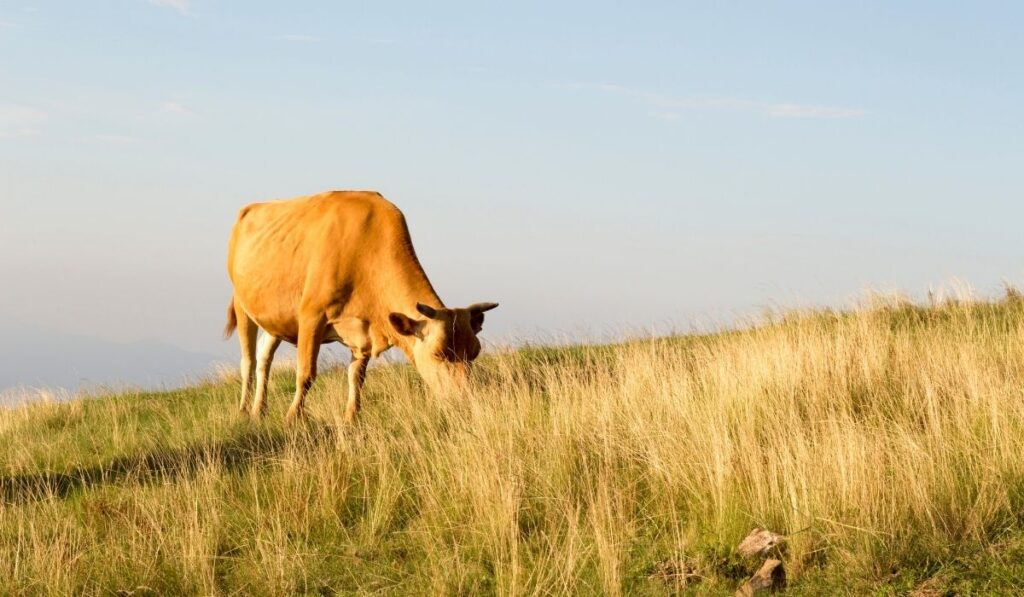Cow under the sun
