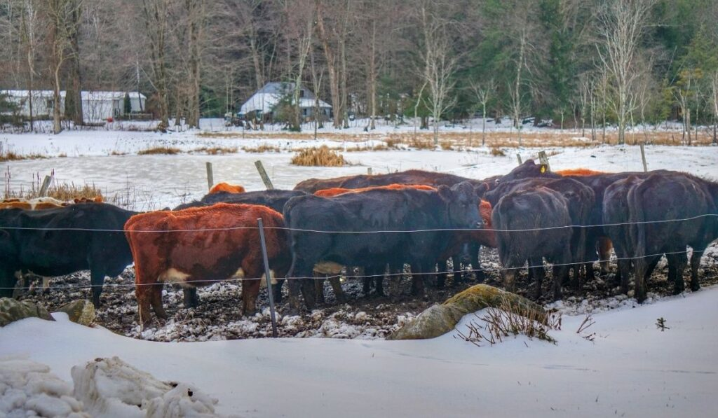 Cows huddling close together in winter