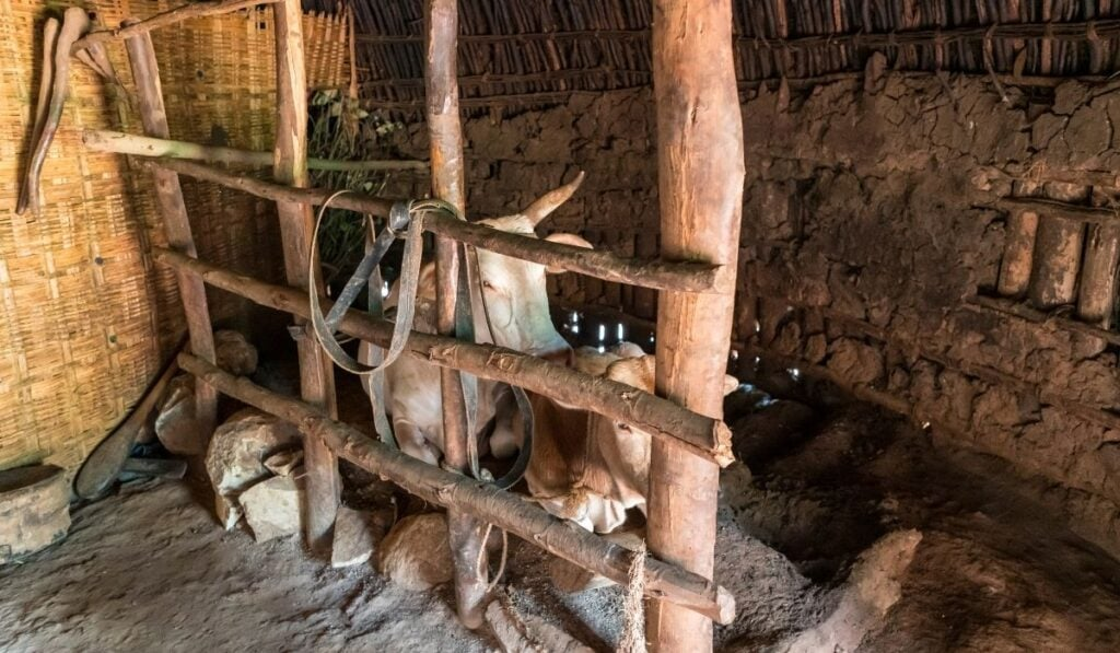 Cows inside covered pen