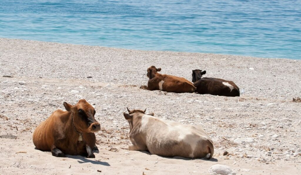 Cows taking direct sunlight on the beach