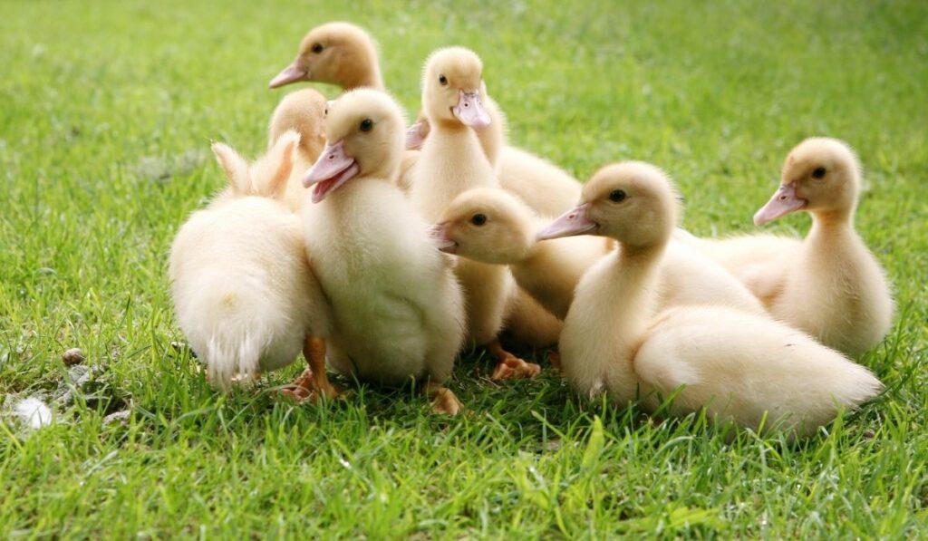 Cute baby ducklings
