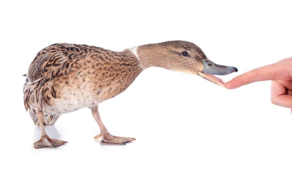 Duck Biting Human Finger