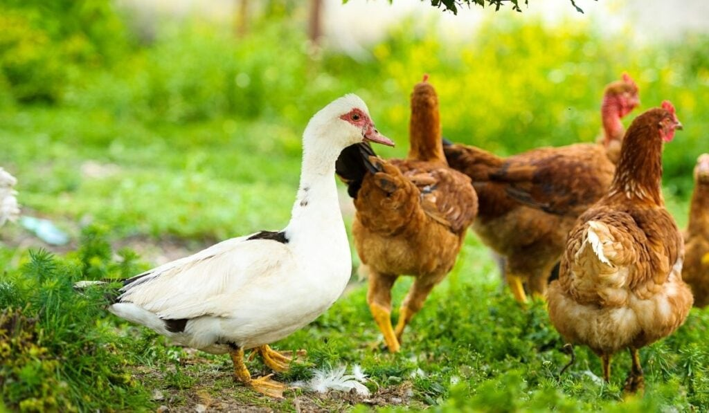 Duck and chickens on grass