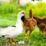 Why Your Ducks Are Attacking Your Chickens and What to Do