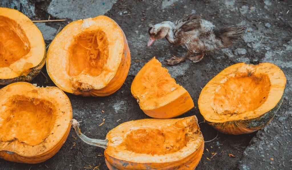 Duck and pumpkins