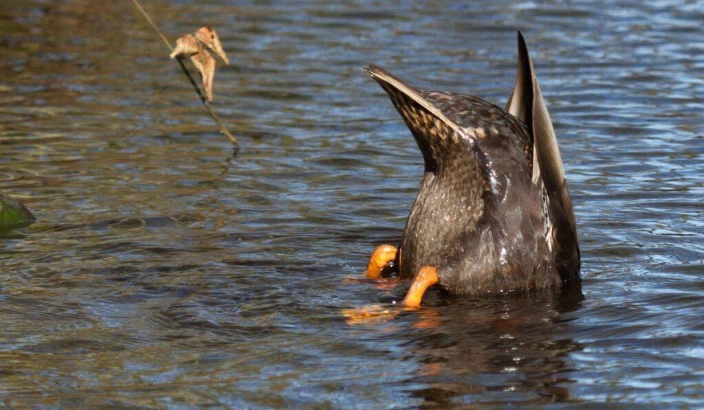 Duck eat something under water