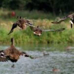 5 Safe and Ethical Ways to Keep Ducks From Flying Away