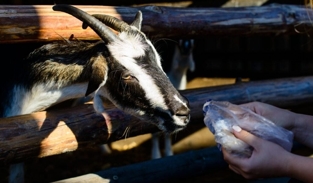 Feeding goat bread