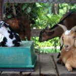 7 Reasons to Use a Goat Sleeping Platform (and 3 ways to build one)