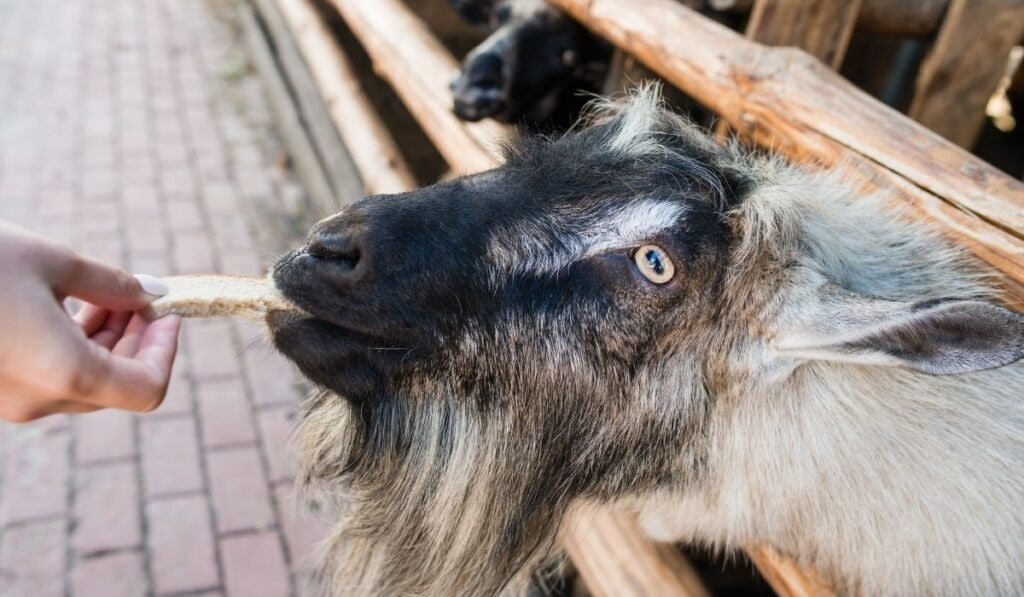 Goat eating bread
