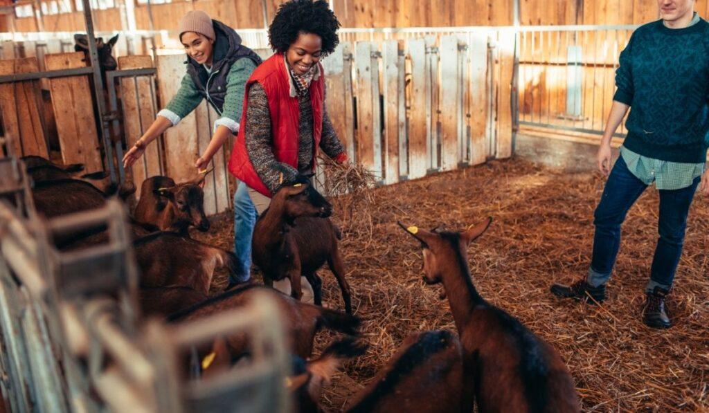 Goat farm bedding