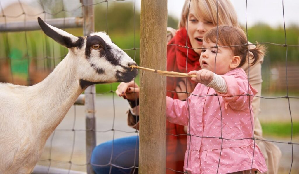 Goat inside pen
