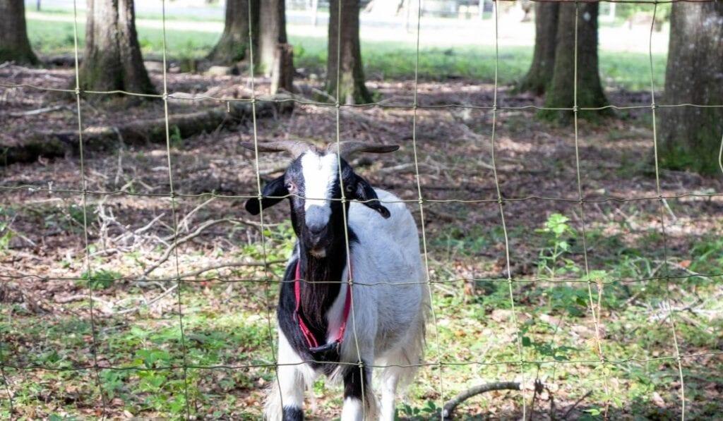 Goat inside the pen