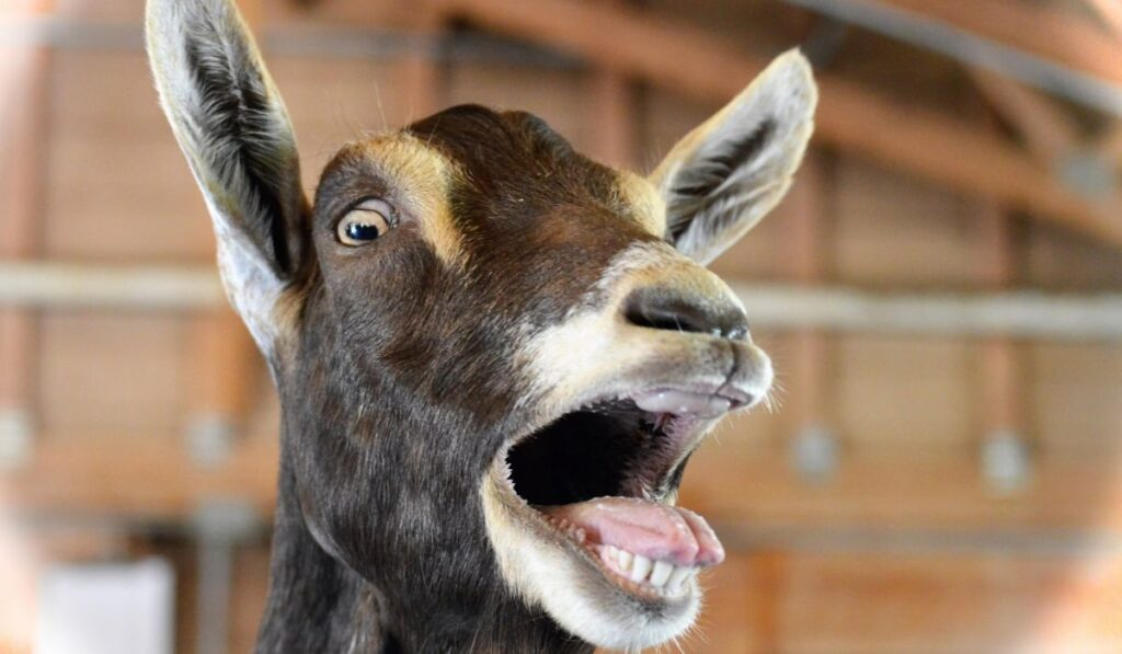 Goat opening its mouth