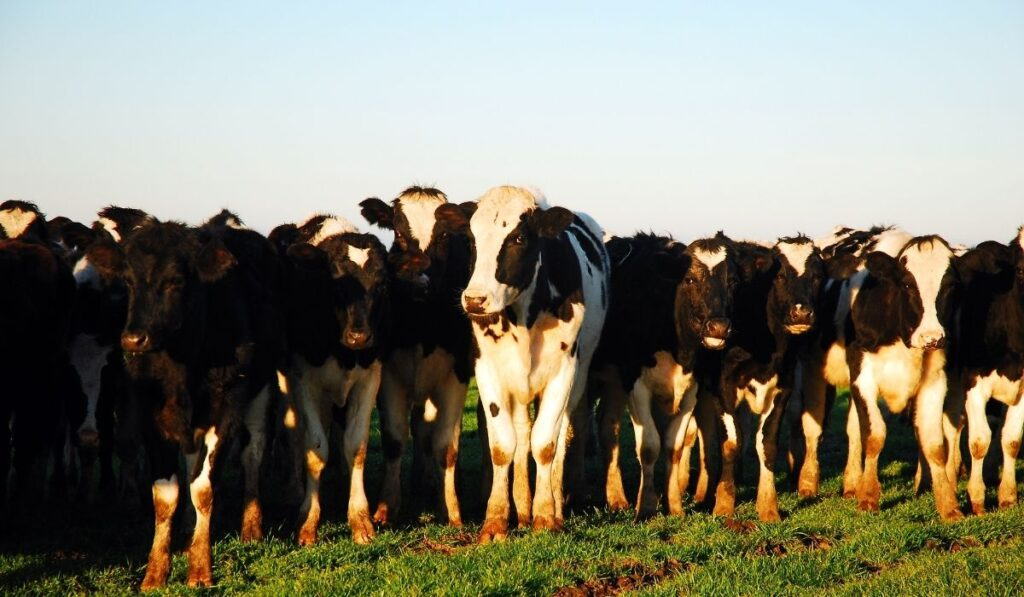 Group of cow huddle together