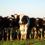 Why Cows Huddle Together and Other Cow Behaviors Explained