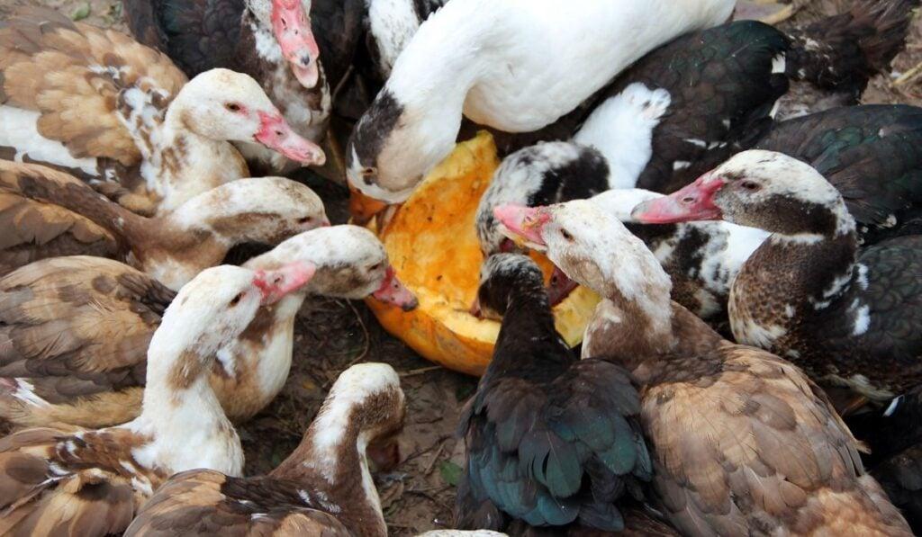 Group of ducks eating pumpkins