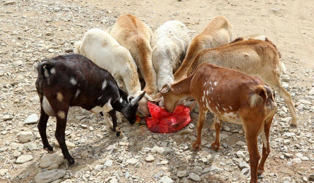 Herd of goat eating from plastic bag