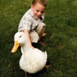 Ducks as Pets: Pros and Cons