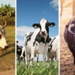 9 Differences Between Oxen, Cows, and Bulls