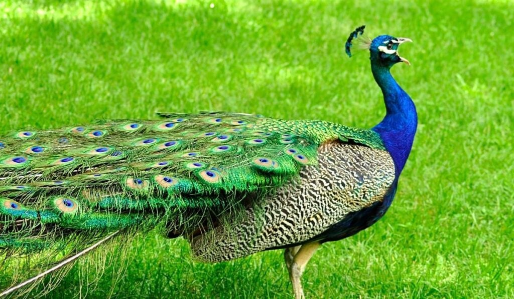 Peacock Standing on Top of Green Grass