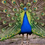 7 Reasons Peacocks Make Good Pets and 7 Reasons Why They Don't