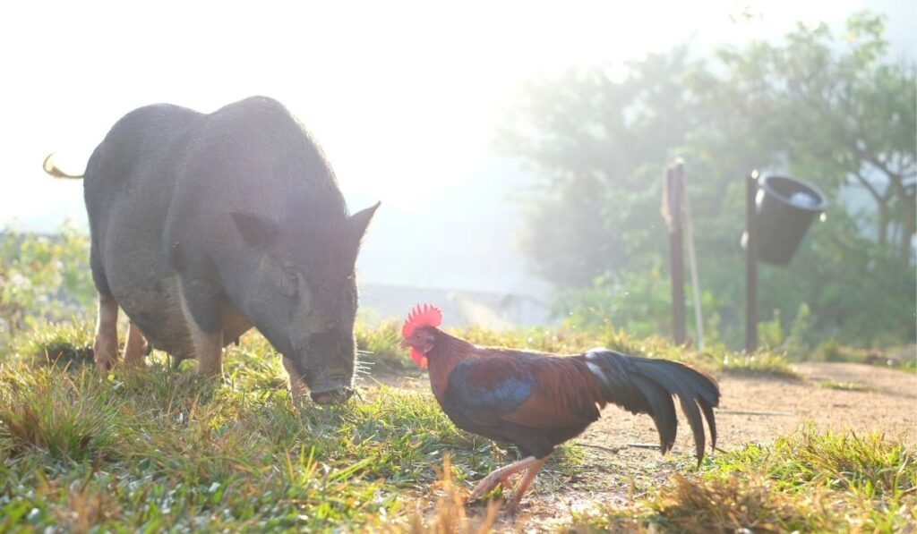 Pig and Chicken in the Farm
