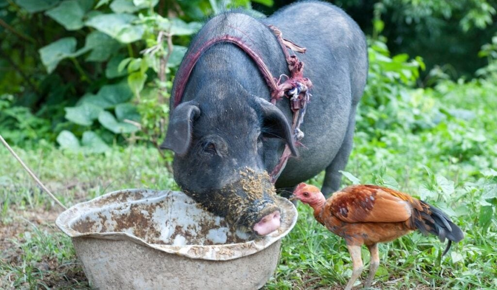 Pig and Chicken Eating
