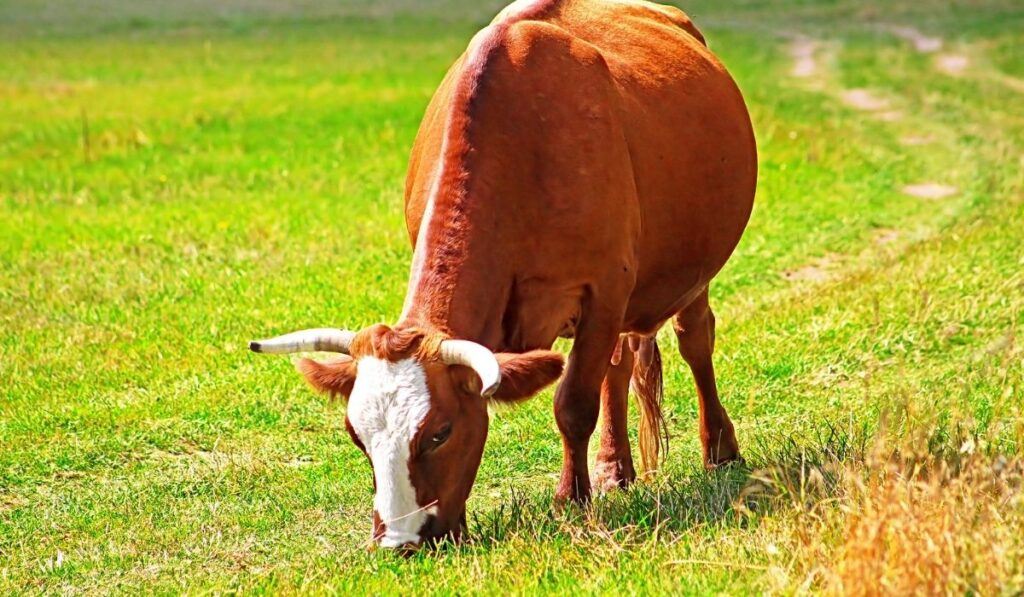 Pregnant cow eating grass
