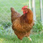 12 Gorgeous Red Chicken Breeds