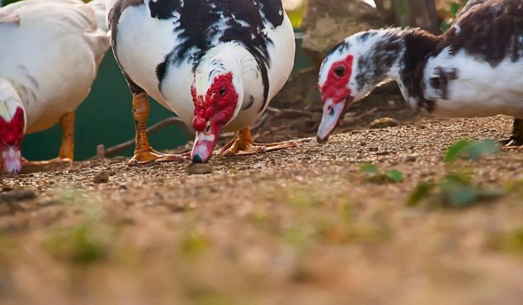 Three ducks eating